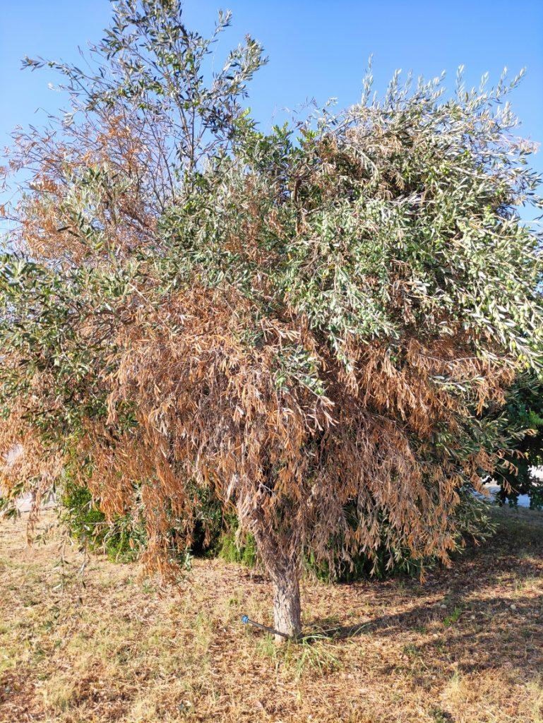 Rigenerazione sostenibile dell'agricoltura salentina ed emergenza forestazione: Provincia e Dajs coinvolgono altri 28 Comuni del Salento